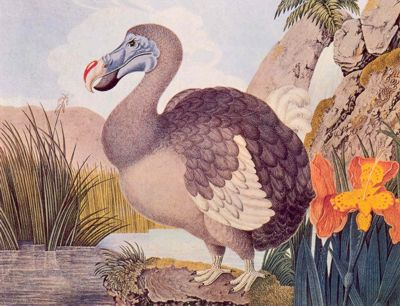 extinct dodo bird